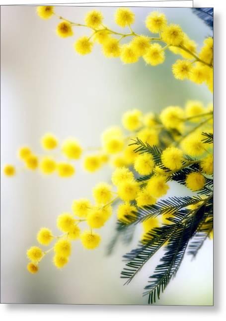 Mimosa (acacia Dealbata) Greeting Card by Maria Mosolova