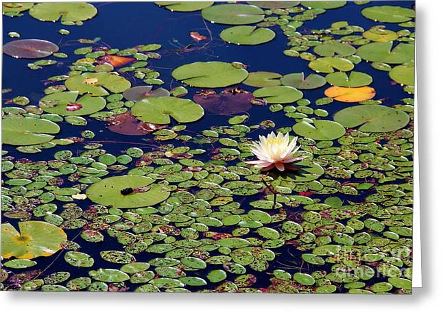 Mini Lily Pads Greeting Card by Pauline Ross