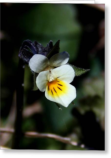 Miniature Pansy2 Greeting Card