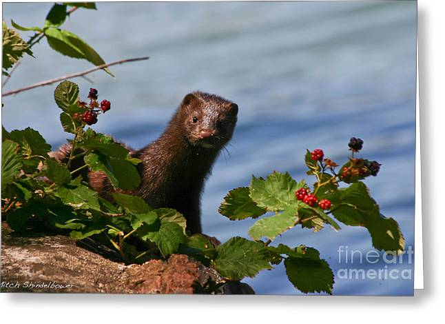 Greeting Card featuring the photograph Mink In Blackberries. by Mitch Shindelbower