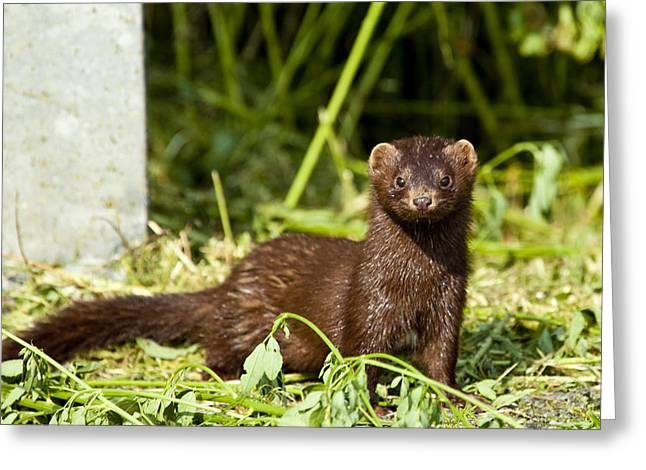 Mink Greeting Card