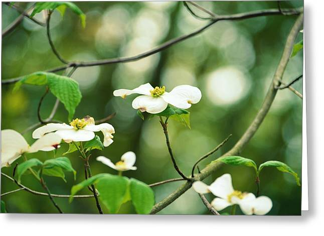 Miracle Of The Dogwood Greeting Card