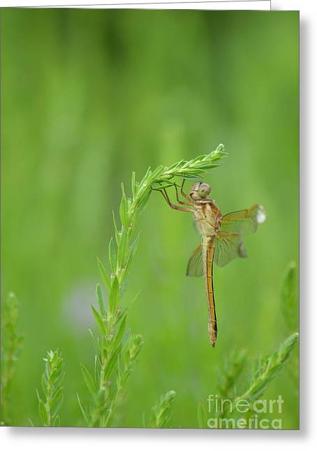 Miss Dragonfly Greeting Card by Kathy Gibbons