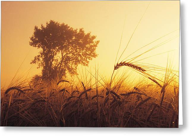 Mist In A Barley Field At Sunset Greeting Card by Dave Reede
