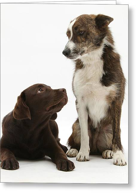 Mixed Breed And Chocolate Lab Greeting Card by Mark Taylor