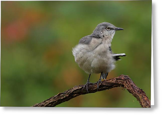 Greeting Card featuring the photograph Mocking Bird Perched In The Wind by Daniel Reed