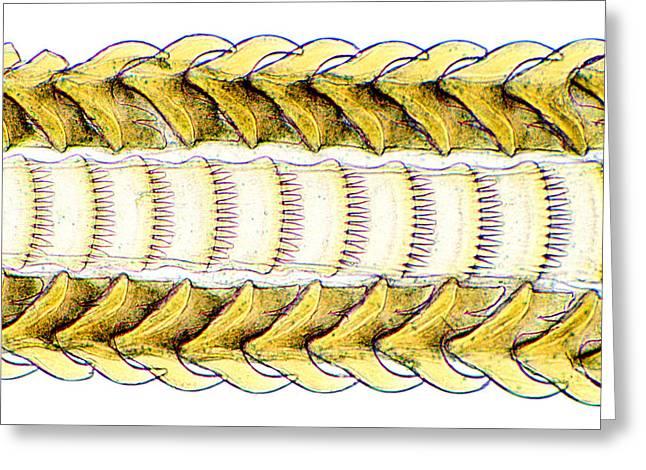 Mollusc Radula Greeting Card