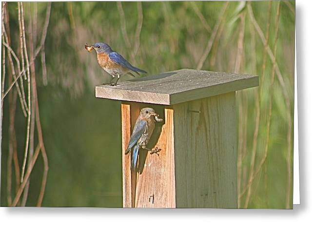 Mom And Dad Bluebird Bringing Home Lunch Greeting Card