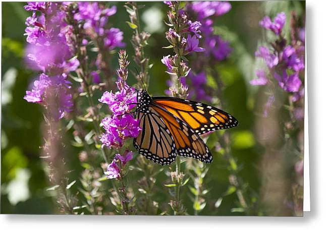 Monarch 2 Greeting Card by Michel DesRoches