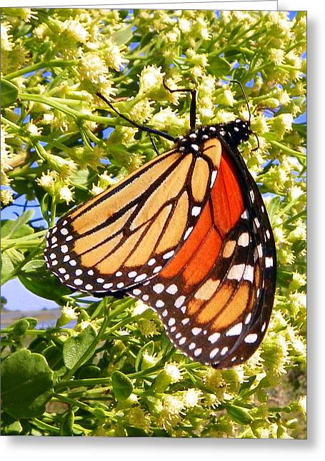 Monarch An Wildflowers Greeting Card by Sheri McLeroy