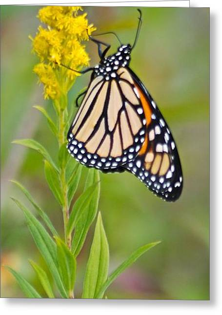 Monarch And Goldenrod  Greeting Card
