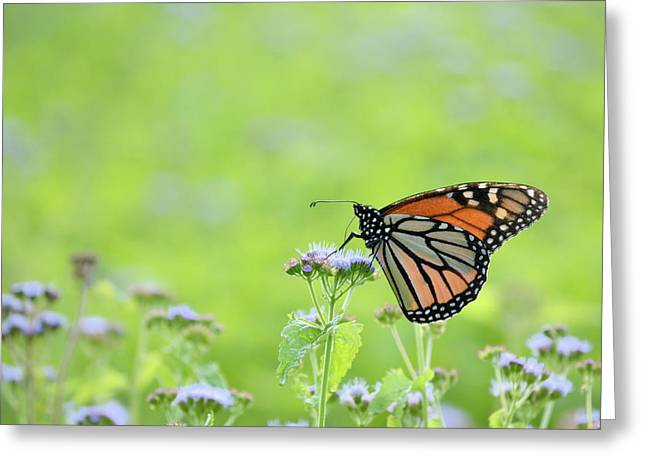 Monarch And Mist Greeting Card