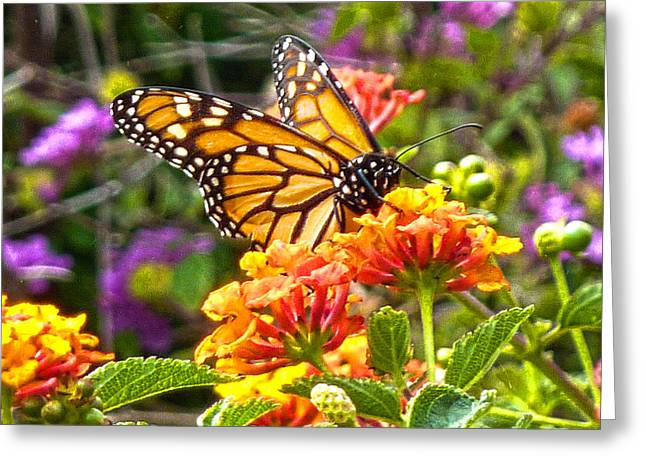 Monarch At Lantana Greeting Card