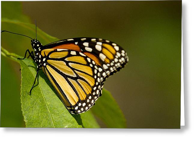 Monarch Beauty Greeting Card by Dean Bennett