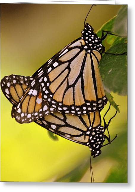 Monarch Bliss Greeting Card by Marty Koch
