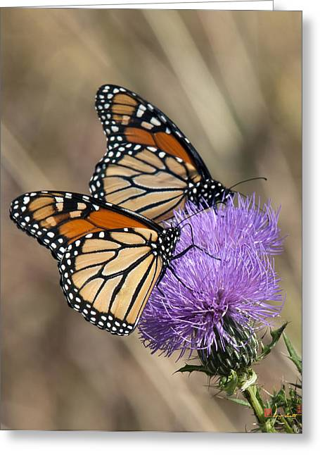 Greeting Card featuring the photograph Monarch Butterflies On Field Thistle Din162 by Gerry Gantt