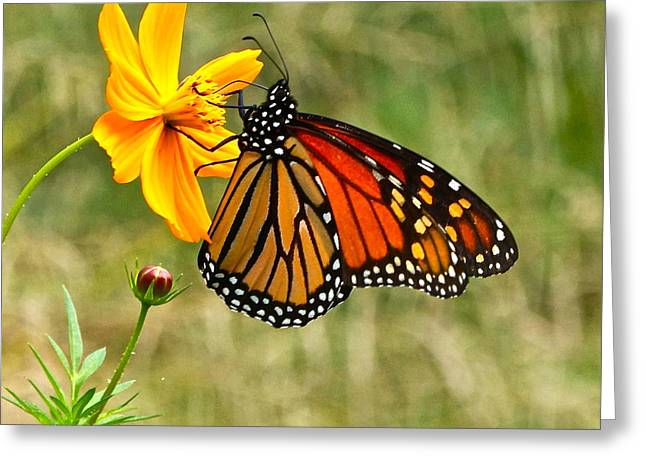 Monarch Butterfly And Yellow Cosmos Greeting Card by Byron Varvarigos