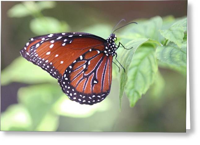 Monarch Butterfly Greeting Card by Andrea  OConnell