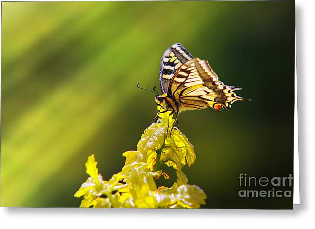 Monarch Butterfly Greeting Card by Carlos Caetano