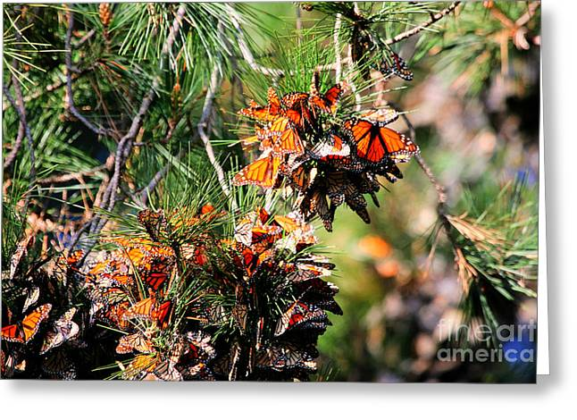 Monarch Butterfly Gathering Greeting Card by Tap On Photo