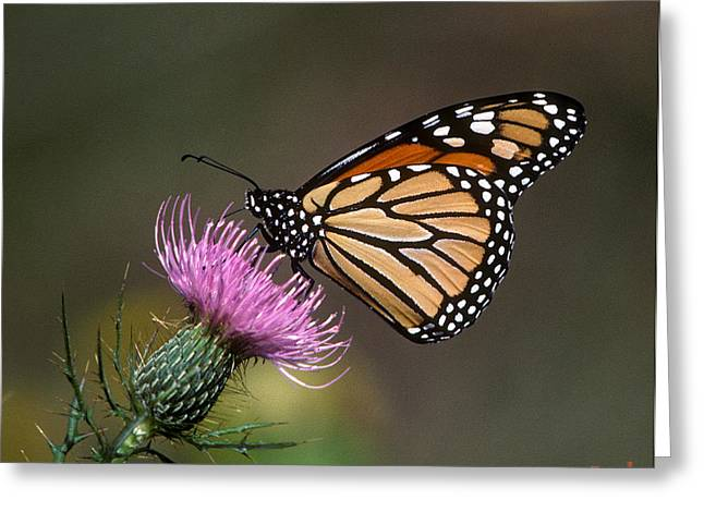 Greeting Card featuring the photograph Monarch Butterfly On Thistle 13a by Gerry Gantt