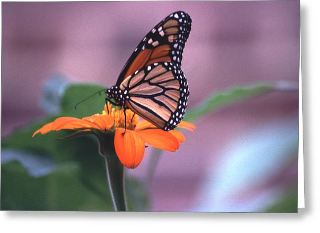 Greeting Card featuring the photograph Monarch Butterfly On Tithonia Sunflower by Tom Wurl