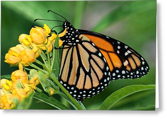 Greeting Card featuring the photograph Monarch Butterfly by Susi Stroud