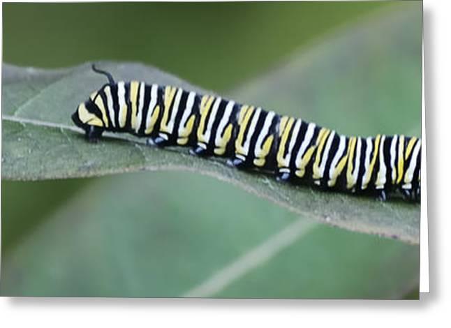 Monarch Caterpillar Greeting Card by Randy Bodkins
