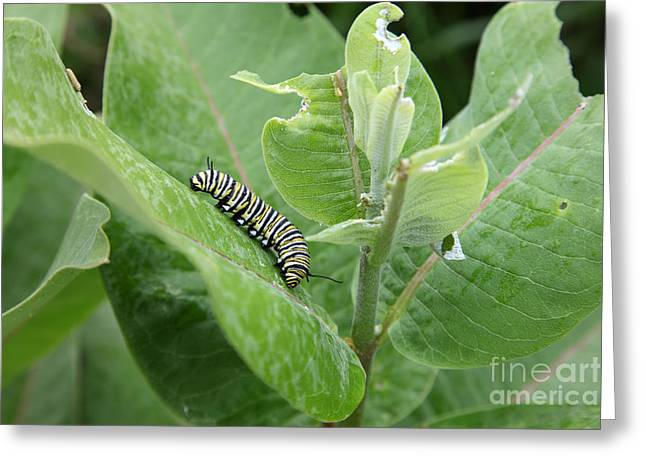 Monarch Caterpillar Greeting Card by Ted Kinsman