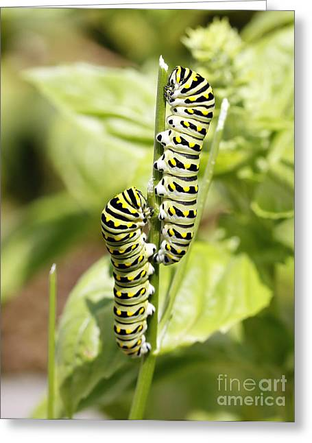 Monarch Caterpillars Greeting Card by Denise Pohl