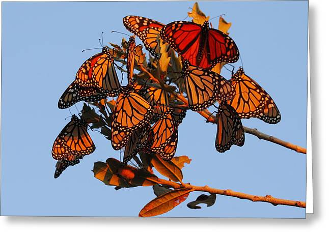 Monarch Migration Greeting Card by Andrew McInnes