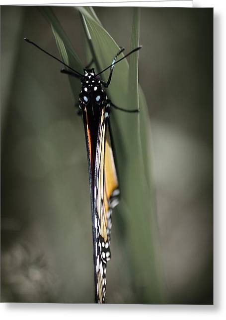 Monarch On A Blade Of Grass Greeting Card
