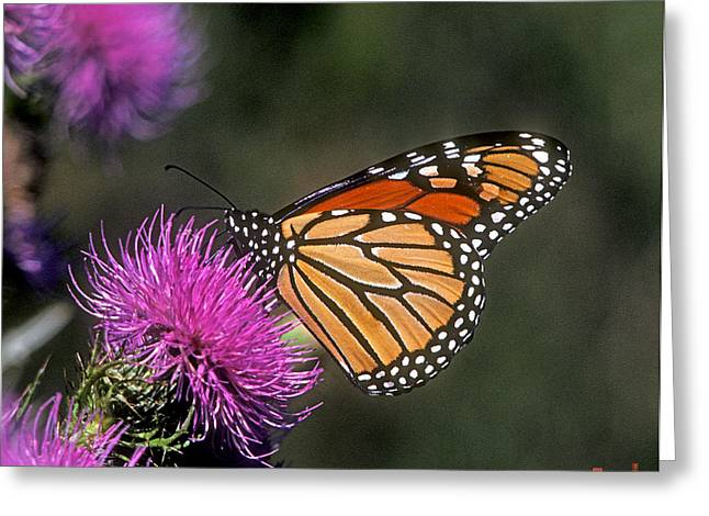 Greeting Card featuring the photograph Monarch On Thistle 13f by Gerry Gantt