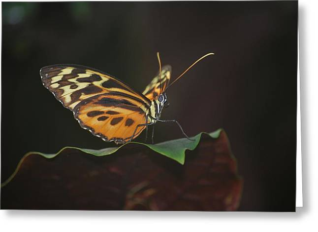 Monarch Perch Greeting Card