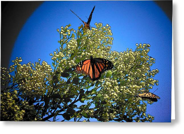 Monarch Show Greeting Card