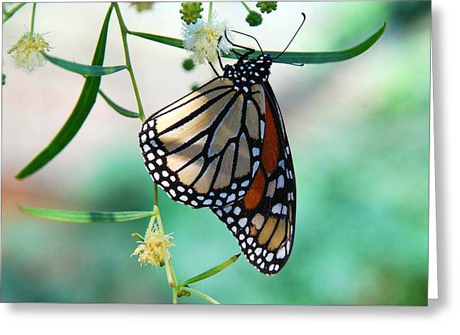 Greeting Card featuring the photograph Monarch by Tam Ryan