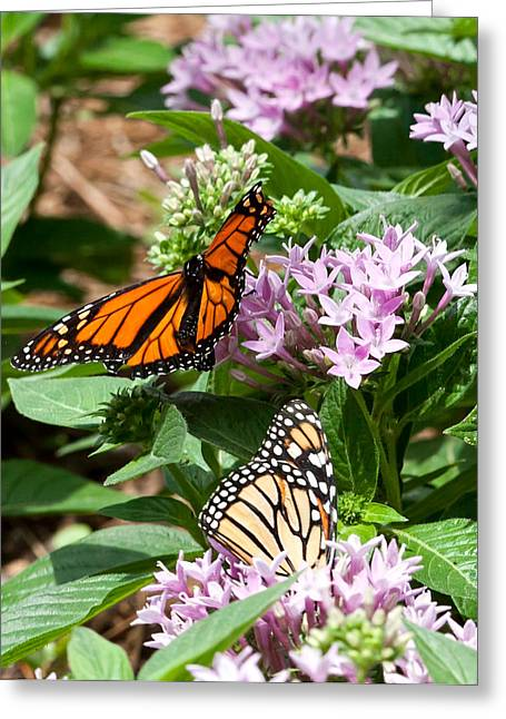 Greeting Card featuring the photograph Monarchs by Susi Stroud