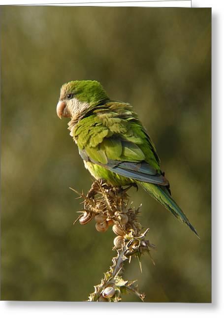 Monk Parakeet Greeting Card by Perry Van Munster