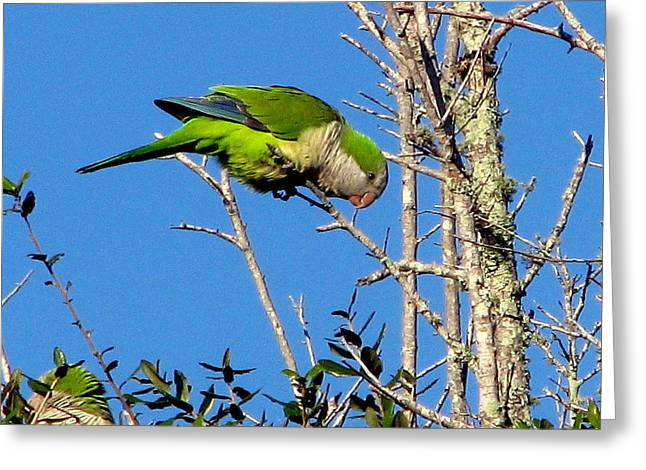 Monk Parakeet Greeting Card by T Guy Spencer
