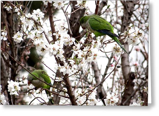 Monk Parakeets Greeting Card by Keith Stokes