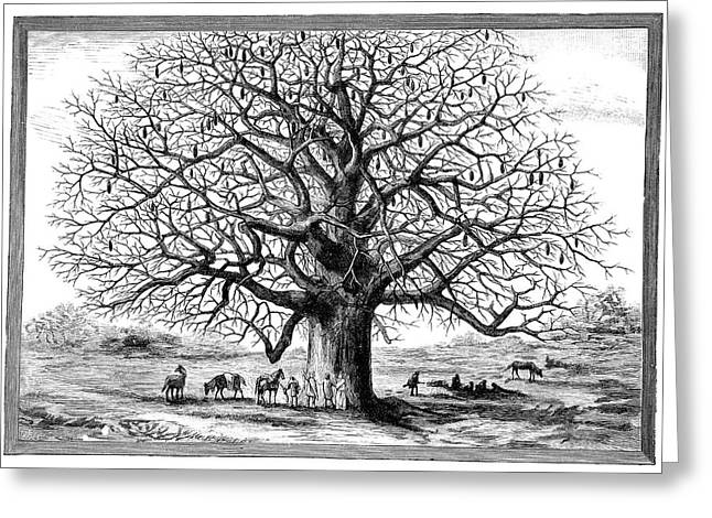 Monkeybread Tree, 19th Century Greeting Card by
