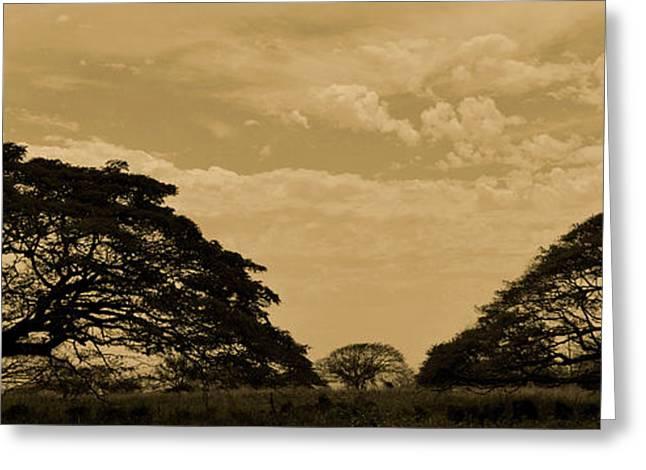 Monkeypod Trees Greeting Card