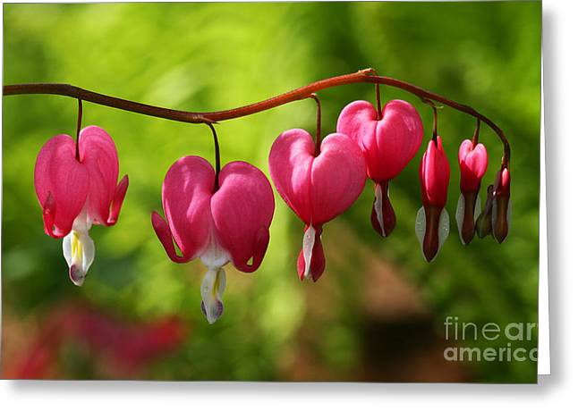 Greeting Card featuring the photograph Month Of May Bleeding Hearts by Steve Augustin