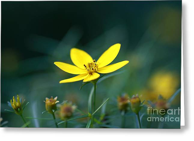 Greeting Card featuring the photograph Moonbeam Coreopsis by Denise Pohl