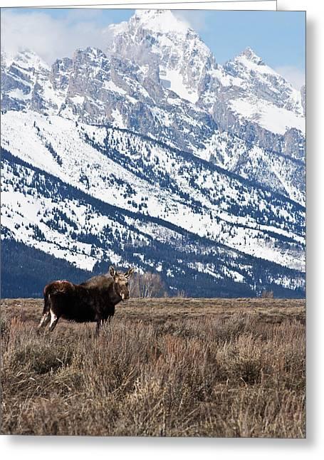 Moose And Grand Teton Grand Teton National Park Greeting Card