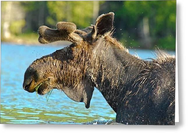 Moose Flies Greeting Card by Lyn Scott
