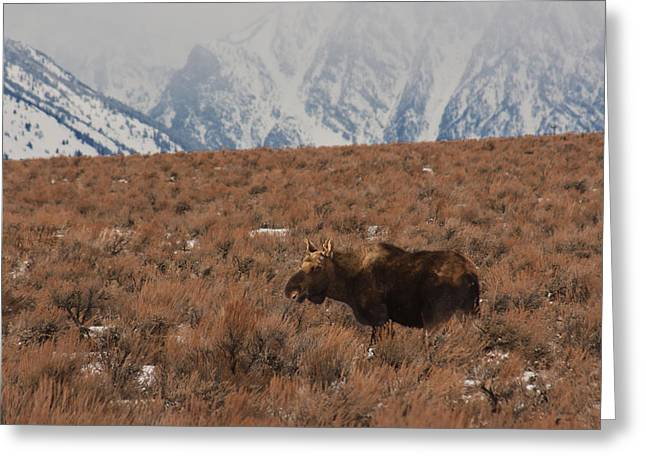 Moose Grand Teton National Park Greeting Card