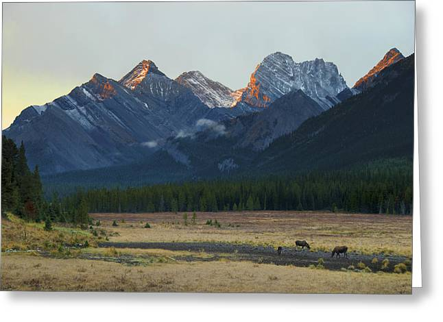 Moose Grazing At Sunset With Mountains Greeting Card