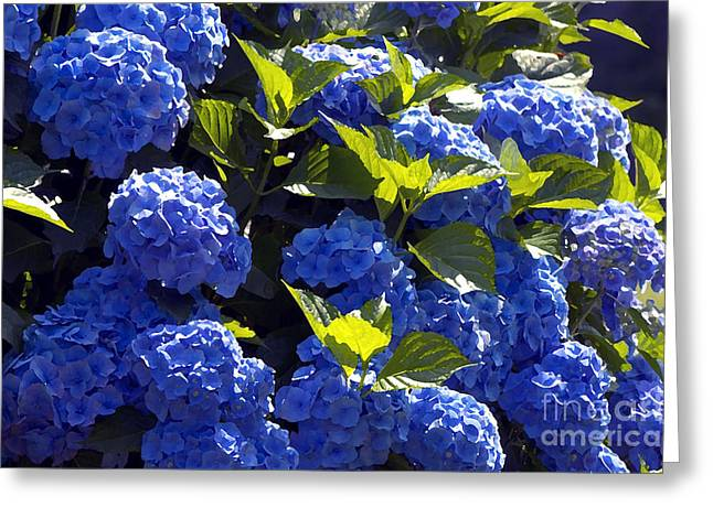 Mophead Hydrangeas Dry Brushed Greeting Card by Sharon Talson