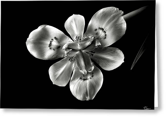 Morea Lily In Black And White Greeting Card